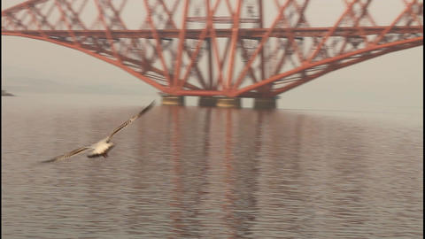 Seagull Flying With The Forth Bridge Behind stock footage