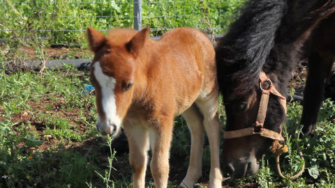 A little pony with his mother Stock Video Footage