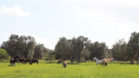 A field with donkeys and horses Footage
