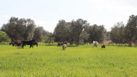 A field with donkeys and horses Stock Video Footage