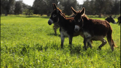 Donkeys running in slow motion Footage