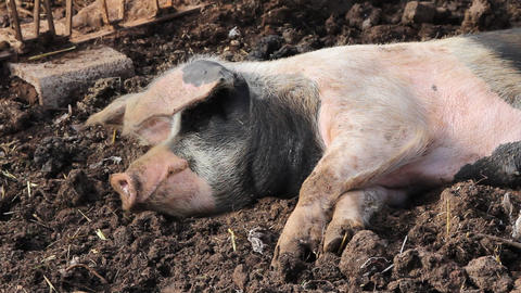 A pig resting in the mud Stock Video Footage