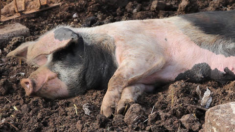 A pig resting in the mud Footage