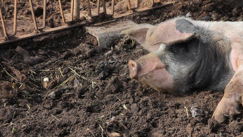 A pig sleeping in the mud Stock Video Footage