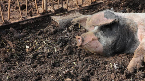 A pig sleeping in the mud Footage