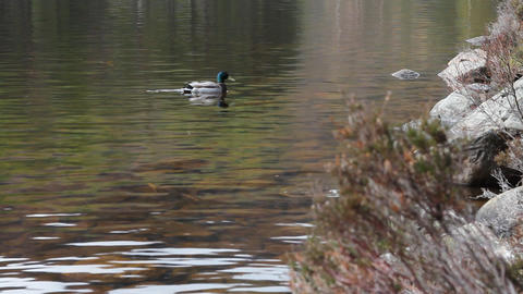 Duck swimming and people walking in the forest Stock Video Footage