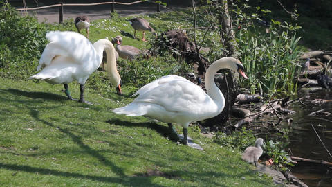 Couple of swans with little cygnets Stock Video Footage
