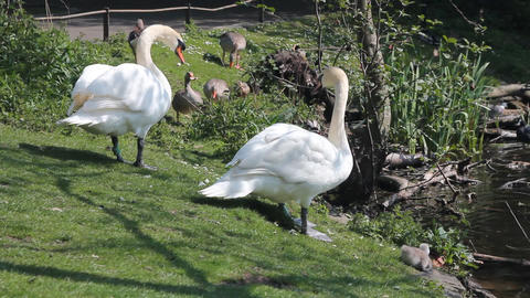 Couple of swans with little cygnets Footage
