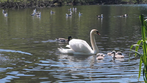 Swans swimming with their babies with seagulls beh Stock Video Footage