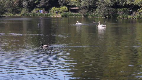 Ducks and swans swimming in a pond Stock Video Footage
