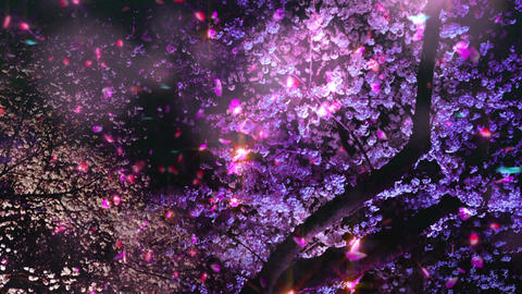 Cherry Blossoms 2625j Stock Video Footage