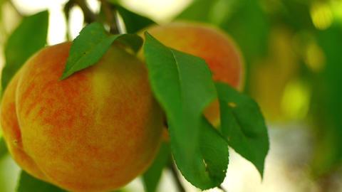 peaches closeup Footage