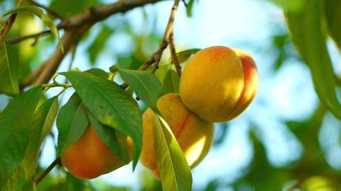 peaches closeup 3 Animation