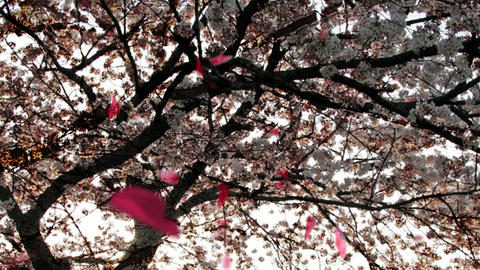 Cherry Blossoms 23945j Stock Video Footage