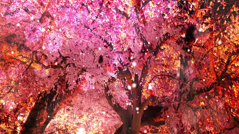 Cherry Blossoms 234745j Stock Video Footage