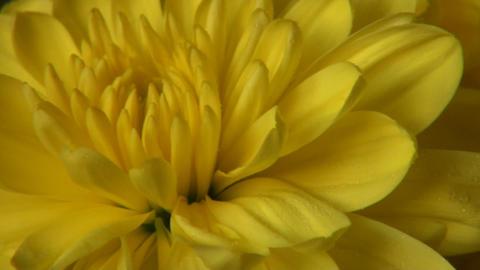 Yellow chrysanthemum Stock Video Footage