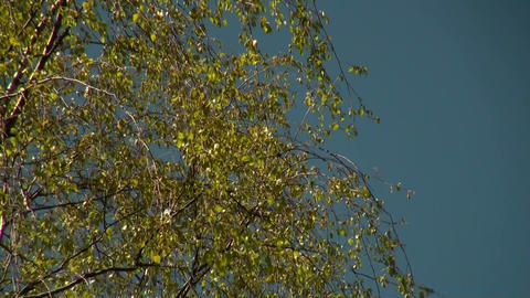 Crohn's birch Stock Video Footage