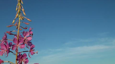 Purple flower in the sky Stock Video Footage