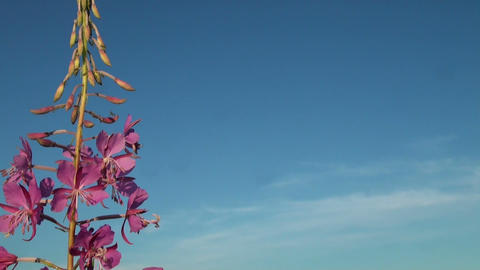Purple flower in the sky Footage