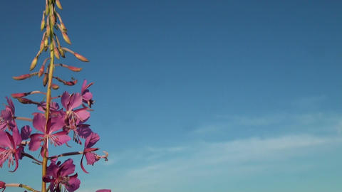 Purple flower in the sky Stock Video Footage