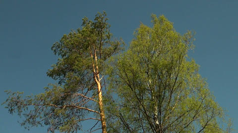 Branch of spruce, pine Stock Video Footage