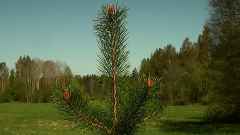 Branch Of Spruce, Pine stock footage