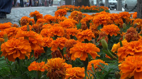 A bed of orange flowers Footage