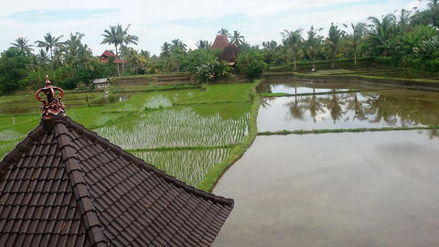 Cultivation of rice in Indonesia Live Action