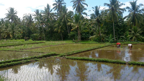 Rice field irrigated with water. Panorama, Live Action