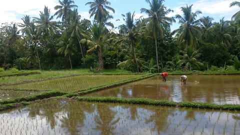 Rice field irrigated with water. Panorama Live Action