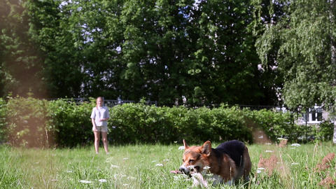 Welsh Corgi dog playing with stick in the grass GIF