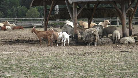 Variety of farm animals. Group of farm animals Footage
