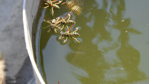 Wasps drink water from the pan, swim on the surface of the water. Wasps fly over Footage