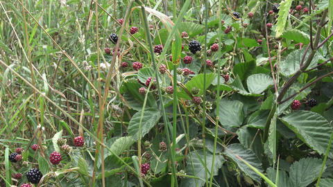 Blackberries on branch. Red and black wild blackberries bushes and branches Live Action