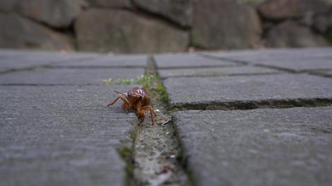 Close-up. a cicada larva or a cicade nymph crawling on flag stones Live Action