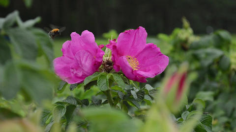 A large bumblebee flies from a flower to a flower of a... Stock Video Footage