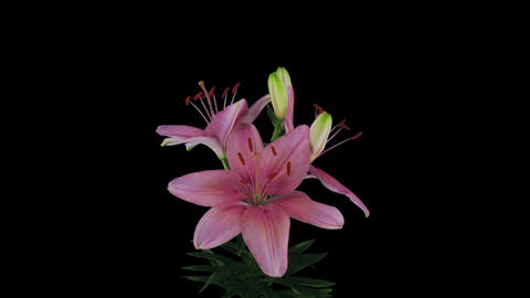 Growing, opening and rotating pink lily in RGB + ALPHA matte format Footage