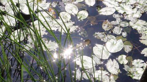 スイレンの葉と反射する光 영상물
