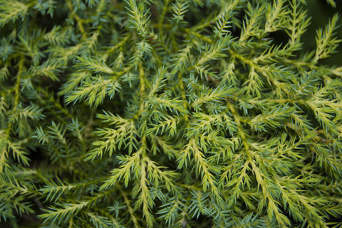 Natural vegetal background. Two-colored juniper is light and dark green Photo