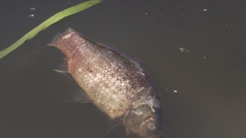 Dead fish in polluted water Footage