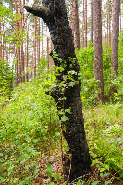Young birch and old charred trunk of a tree フォト