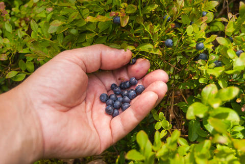 the hand of the collector collects berries wild blueberries Photo