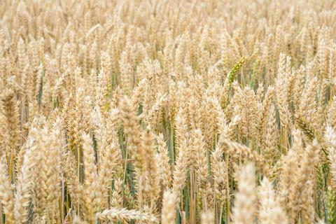 Wheat field. Golden ears of wheat on the field Fotografía