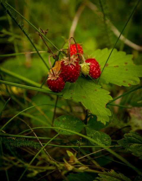 Close up of wild strawberries Photo