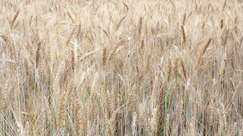 Wheat field. Golden ears of wheat on the field. Background of ripening ears of Footage