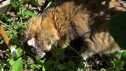 Calico maine coon cat rolling around lying in catnip greens plant outdoor garden Footage