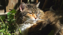 Maine coon cat face lying in smelling catnip in outdoor home garden, eating Footage
