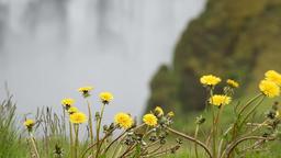 Skogafoss Skogar waterfall rain drops on yellow dandelion flowers in Iceland Footage