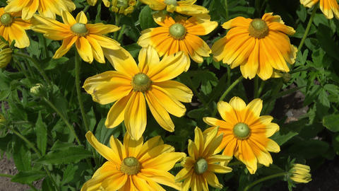 Black-eyed Susan flowers also known as Rudbeckia hirta Footage