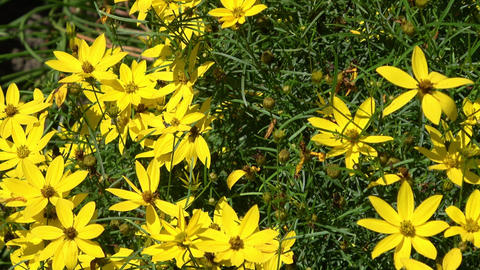 Coreopsis Verticillata also known as thread leaf coreopsis Footage